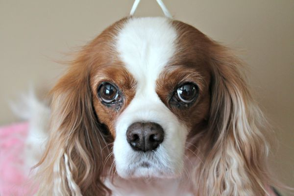 Indiana the Cavalier King Charles Spaniel Dog Grooming at Home with #CHIforDogs