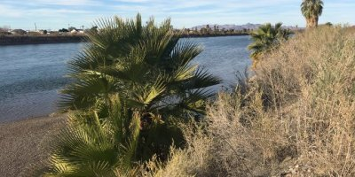 Image: Palm trees beside the Colorado River