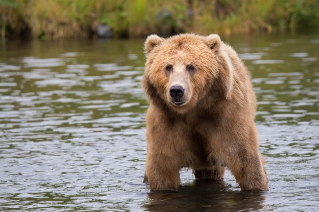 kodiak-brown-bear