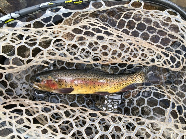 cutthroat trout 2
