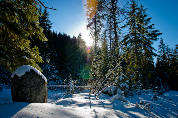 A Wild Christmas Tree Grows In Oregon New Traditions For