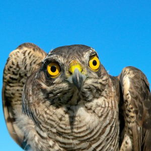 Sparrowhawk Facts  Sparrowhawk Information  Twootzcom