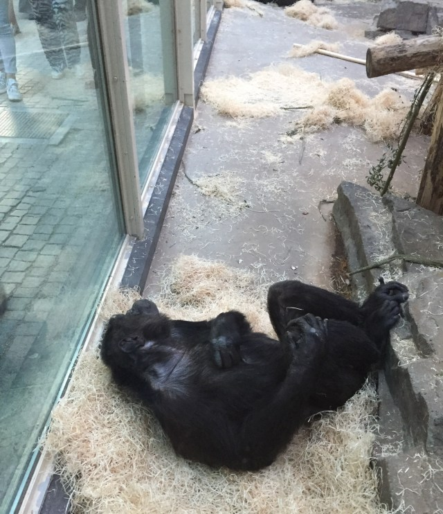 rustende-chimpansee De Zoo by night: erop uit met de collega's