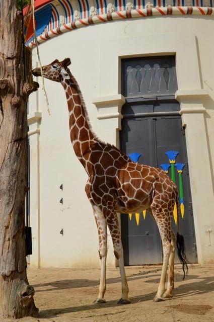 giraf-aan-Egyptisch-paviljoen De Zoo van Antwerpen - by day deze keer