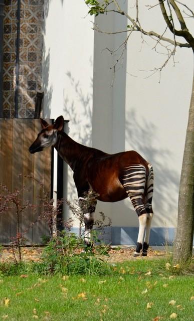 okapi De Zoo van Antwerpen - by day deze keer