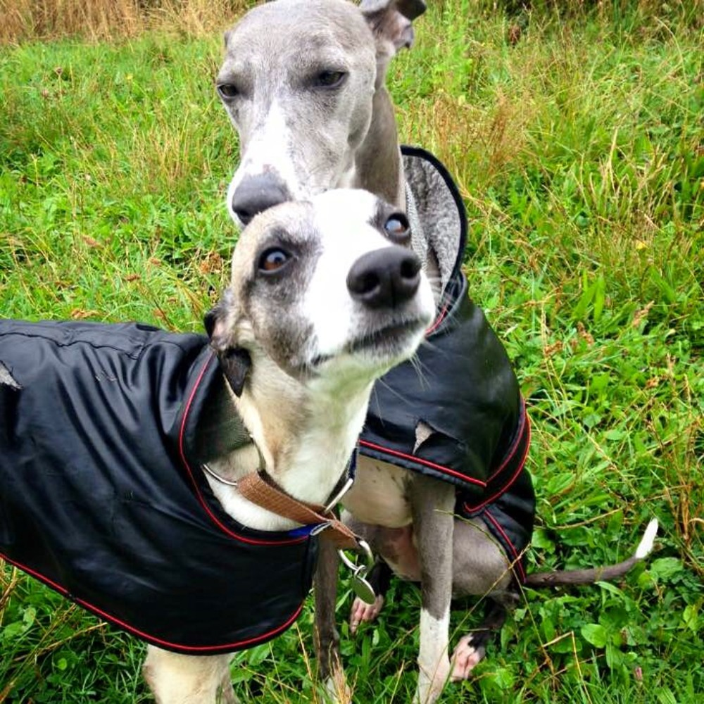 What Whippets Need Quality Products For Whippets Two