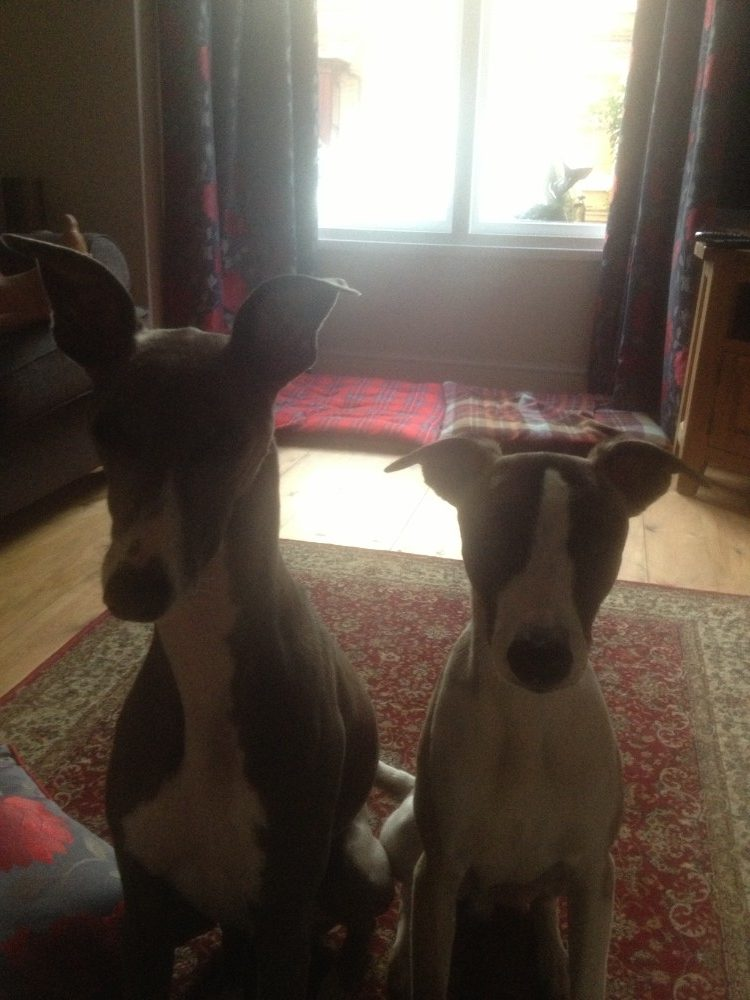 staring whippets