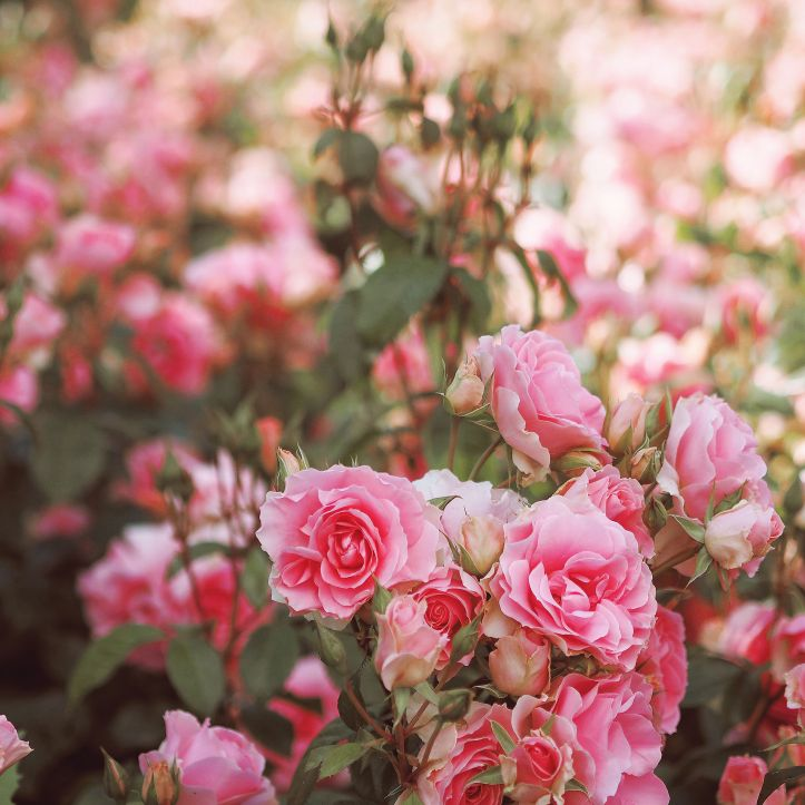 Pink roses in focus at the forefront of the photo and blurred in the background. To illustrate staying focussed.