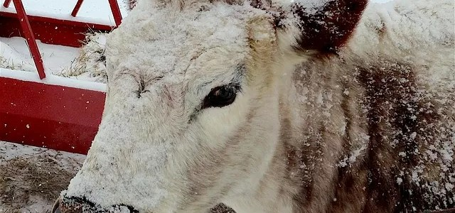 Managing Cattle in the Winter Part 2