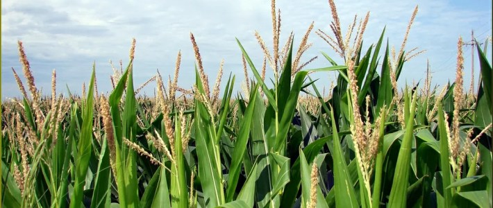 End of Season Nutrient Stress in Corn