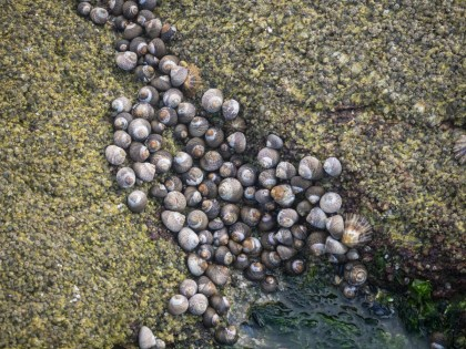 Many varieties of shellfish populate the rocks in abundance