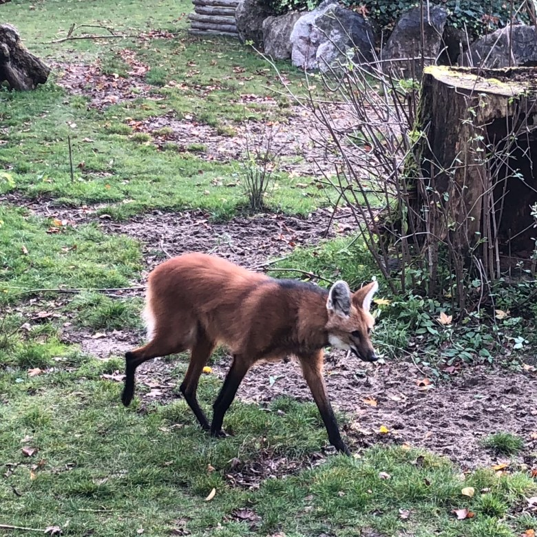 maned wolf lille zoo, animal lille, Maserati road trip