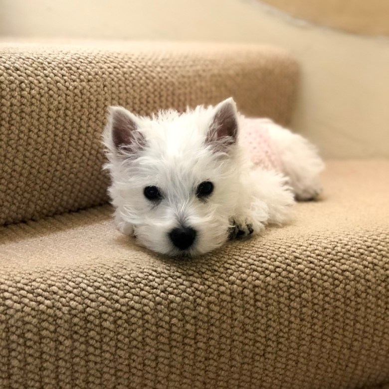 Essential shopping guide for your new puppy Westhighland Terrier Westie
