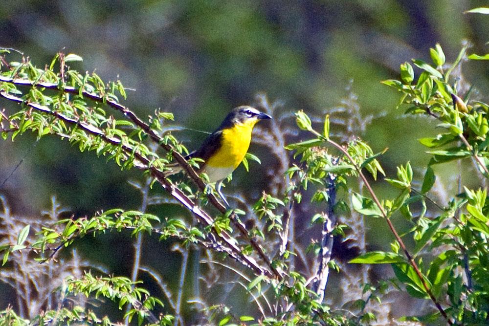 Towhee, summer yard birding