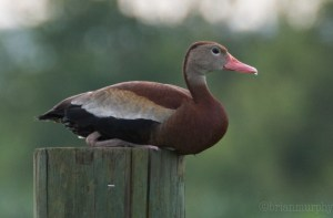 Click for waterfowl collection