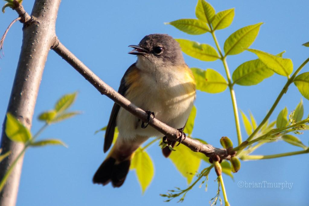 Bird Sounds of North Carolina - Two Talons Up