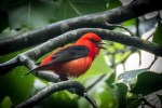 Tanagers, Cardinals and Buntings