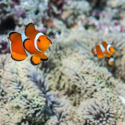 Clownfish_Family