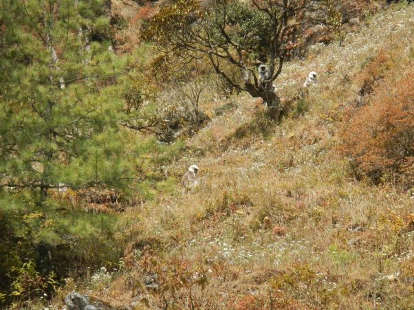Wild Nepal gray langurs!