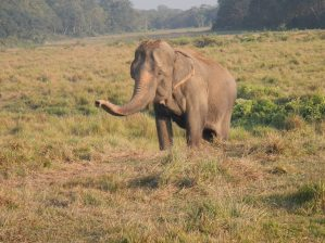 80-year old retiree, Raj told us the pinking of the skin is a sign of age in elephants