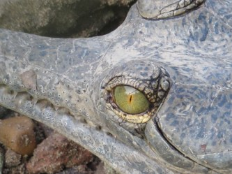 Gharial at the breeding centre