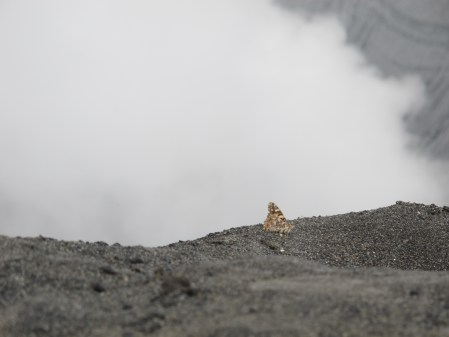 Butterfly on Bromo's crater