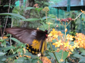 One of the bigger butterflies hovering over a flower