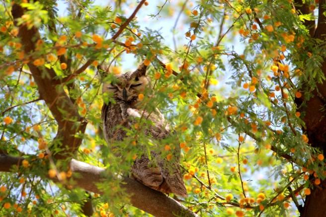 Owl2 017
