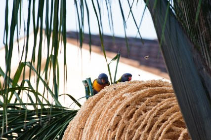Parrots picking the palm tree