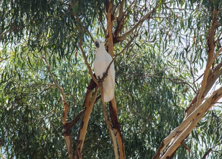 Cockatoo in Birregurra