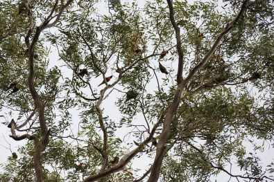 Hundreds of parrots gathered at sunset in the trees and made an unbelievable noise
