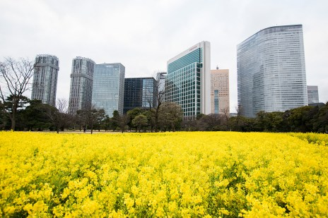 A rapefield in the middle of Tokyo! (Hamarikyu Gardens)