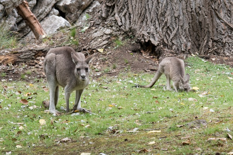 Kangaroo or Wallaby? Hard to say, but they are cute ;)
