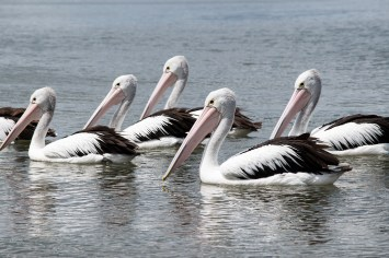Pelicans in the sound of Mallacoota
