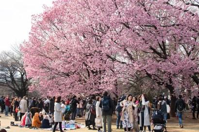 People watching Sakura