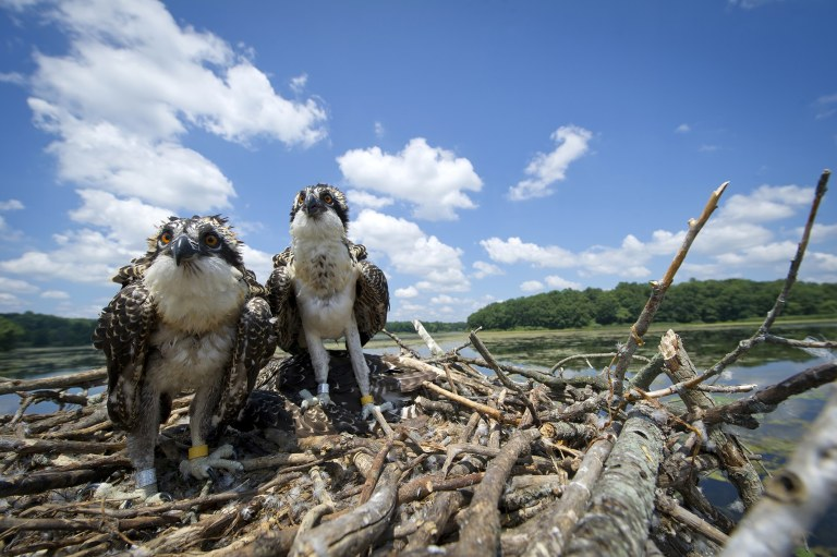 Young ospreys at the nest await the return of an adult  - Michigan Osprey