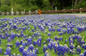 Beautiful Bluebonnets along the hiking trail to Camp Creek Bridge, Cleburne State Park, Texas.
