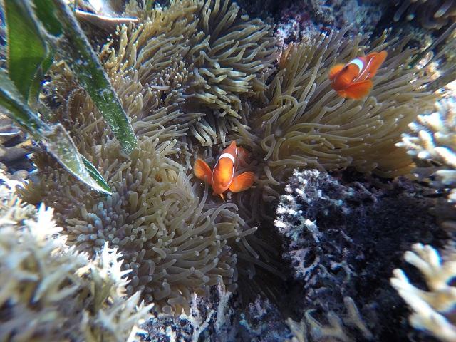 Two Worlds Treasures - Nemo at Siaba Island, Labuan Bajo, Flores, Indonesia.