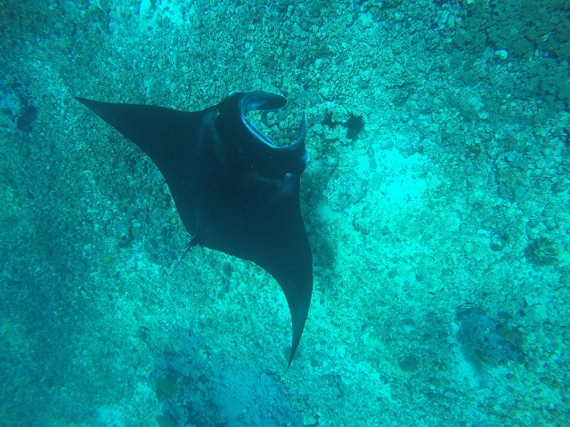 Flores: Manta Ray: Two Worlds Treasures