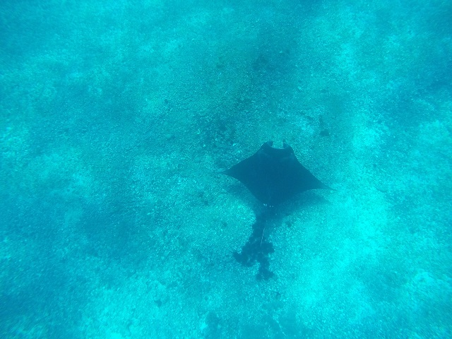 Two Worlds Treasures - First Manta Ray at Manta Point, Flores, Indonesia.