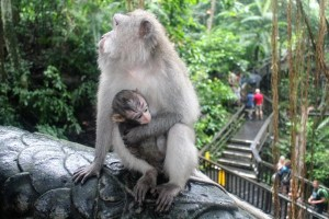 Visiting Bali with a 10-year-old boy: Ubud Monkey Forest: mother's love