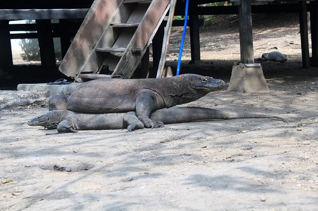 Two Worlds Treasures - it's matting season at Rinca Island.