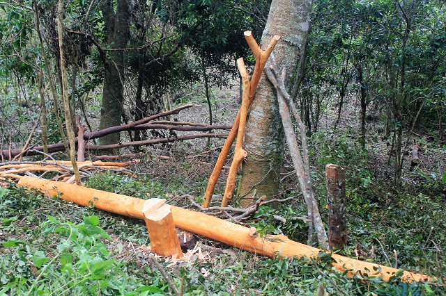 Two Worlds Treasures - cinnamon tree, Wae Rebo, East Nusa Tenggara, Indonesia.