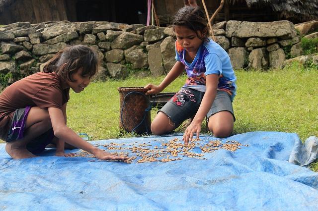 Two Worlds Treasures - drying coffee traditionally at Wae Rebo Village, Wae Rebo, East Nusa TEnggara, Indonesia.