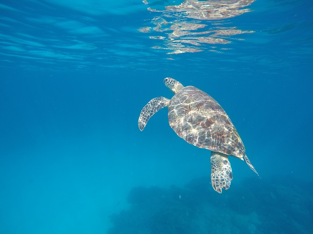 Island Hopping in Flores, Indonesia - Day 3 - sea turtles at Siaba Island
