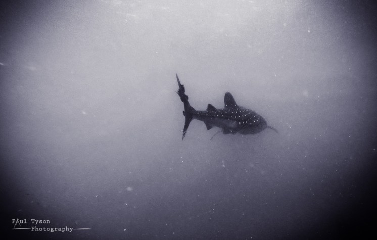 The shark disapears into the distance