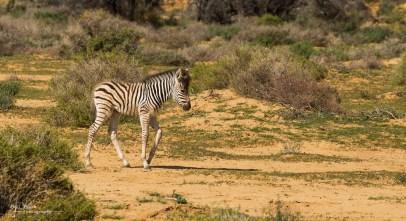 5 day old zebra calf