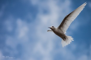 My favourite the Fairy Tern