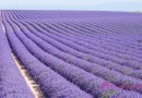 法國: 一望無際的南法薰衣草花海 (Valensole, France)