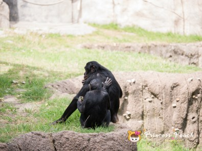 Fort Worth Zoo Bonobos 黑倭猩猩